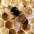 Méhpempő, propolisz és méhpempő