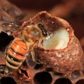 Méhpempő és méhecske