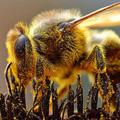 A Méhpempő a garatmirigy váladék