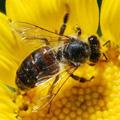 A méhpempő begyűjtéséről