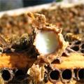 A méhpempő egy elixír